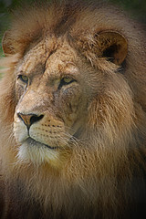 Linton Zoo: Lion (--CWH--) Tags: chris wild cats animals zoo wildlife lion exotic endangered vignetting mammals bigcats linton predators wildcats lionphotos humphries d40 specanimal visitengland nikond40 colorphotoaward enjoyengland lionpictures chrishumphries animalshootscom animalshoots