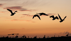 Snettisham (late night looms) (Mckenzie Walters) Tags: life beauty birds geese seaside sundown wildlife awesome ngc norfolk flight takeoff flyby wildfowl rspb ukwalks kenziespics snettishamnaturereserve latenightlooms
