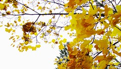 "Himmelwärts (eagle1effi) Tags: sky art fall canon germany deutschland cool colorful flickr bestof artistic kunst herbst foliage edition onwhite picturesque tuebingen erwin tübingen tubingen masterclass württemberg badenwuerttemberg tubinga freisteller effinger againstthewhite artexpression regionstuttgart aufweiss eagle1effi naturemasterclass ae1fave by©eagle1effi yourbestoftoday canonpowershotsx1is effiart masterclass"" ""django´s aufweisemhintergrund dibenga stadttübingen isoliertaufweis effiartgermany effiarteagle1effi beautifulcityoftubingengermany beautifulcityoftübingengermany dibengâ tubingue"