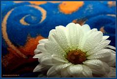 Dune photography@art/bysäne.ch (LETHO 2706) Tags: blue red orange plants white flower macro rot schweiz sand swiss dune pflanzen blumen blau waterdrops weiss picnik wassertropfen swizerland hypnotique canonefs60mm gerlafingen chrisantheme canon450d bysäne photographyartbysänech