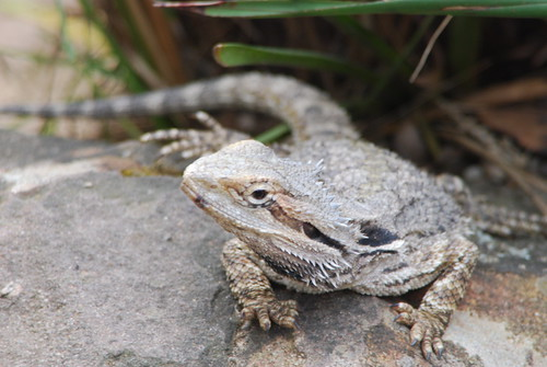 Eastern Bearded Dragon - Pogona barbata