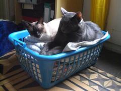 gats, cats, gatos, chats (17) (Julio Lamaña) Tags: cat chat gato gat