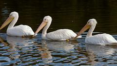331_365 Alternative (beinshitty) Tags: trip travel vacation lake holiday reflection bird water louisiana pelican lsu batonrouge thanksgivings lsulakes canonef70200mmf40