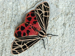 Virgin Tiger Moth (gmontjr) Tags: newjersey insects bugs moths pinelands southjersey pinebarrens southernnewjersey