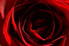 Endless Rose (Victoria Bennett Beyer) Tags: shadow flower macro fleur rose closeup botanical petals close vivid bloom endless layered milemarker victoriabennett ilroseto victoriabeyer victoriabennettbeyer