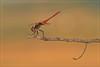 SOLAR FLARE (Siprico - Silvano) Tags: canon dragonfly natura macros libellula potofgold macrofotografia cernuscosulnaviglio macrofografia colorphotoaward buzznbugz siprico fotografianaturalistica soloreflex pricoco wwwsipricoit httpwwwsipricoit silvanopricoco wwwpricocoorg