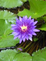 Water Lillies 3 (LeighBLewis) Tags: flowers nature closeup botanicalgarden waterlillies