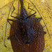 Mormolyce phyllodes, gunung mulu national park, sarawak, malaysia 1