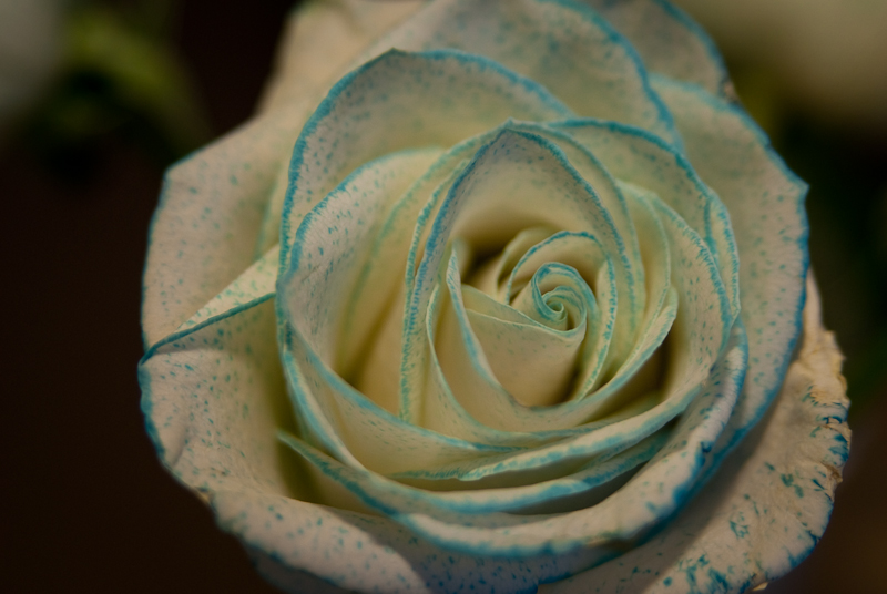 Day 87: Blue Edged Rose