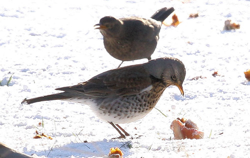 Fieldfare and Apple 6