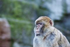 DSC_2326 (thi.g) Tags: schönbrunn color nature monkey nikon thig d90 thilogierschner