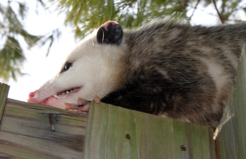 opossum encounter 11710 (11)