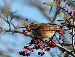 Berry berry tasty! (catb -) Tags: ireland winter dublin snow cold tree bird nature birds garden berry branch berries feeding wildlife january beak explore perch visitor ornithology avian malahide 2010 cotoneaster redwing migrant turdusiliacus interestingness89 i500 slbfeeding