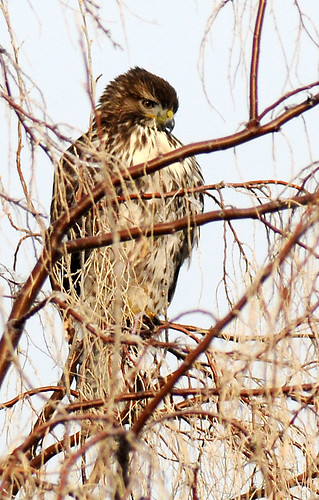 redtailed hawk in a messy tree crop