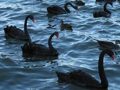 swan_lake (zig2122) Tags: australia canberra blackswans canon710i lakegriffith
