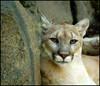 Cougar (digitalART2) Tags: cat d50 nikon cougar mountainlion potofgold specnature philazoo specanimal flickrbigcats