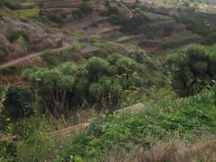 IMG_13406 (505) La Tosca - Schlucht mit Dragos im Nordwesten der Insel (Chironius) Tags: españa spain lapalma espagne dracaena spanien drago spagna dracaenadraco drachenbaum asparagales asparagaceae drachenbäume испания spargelgewächse nolinoideae