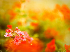 Memory (tianxiaozhang) Tags: china pink sunset red orange flower macro green film soft fuji bokeh beijing 100mm provia tender eos50 ef10028macro realraw