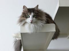 THE CAT (Paolo Bolletta) Tags: dog cane cat collie paolo lucky gatto domestico animale bolletta norvegese