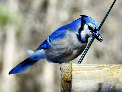 Blue Jay Feb 12