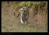 Tiger on the prowl... (Jnarin) Tags: stripes tiger conservation endangered bengaltiger madhyapradesh kanha centralindia kanhanationalpark canoneos1dmarkiii pantheratigristigris royalbengaltiger canonef100400mmf4556lusmis pantheratigrisbengalensis nationalanimalofindia tigerconservation niranjvaidyanathan