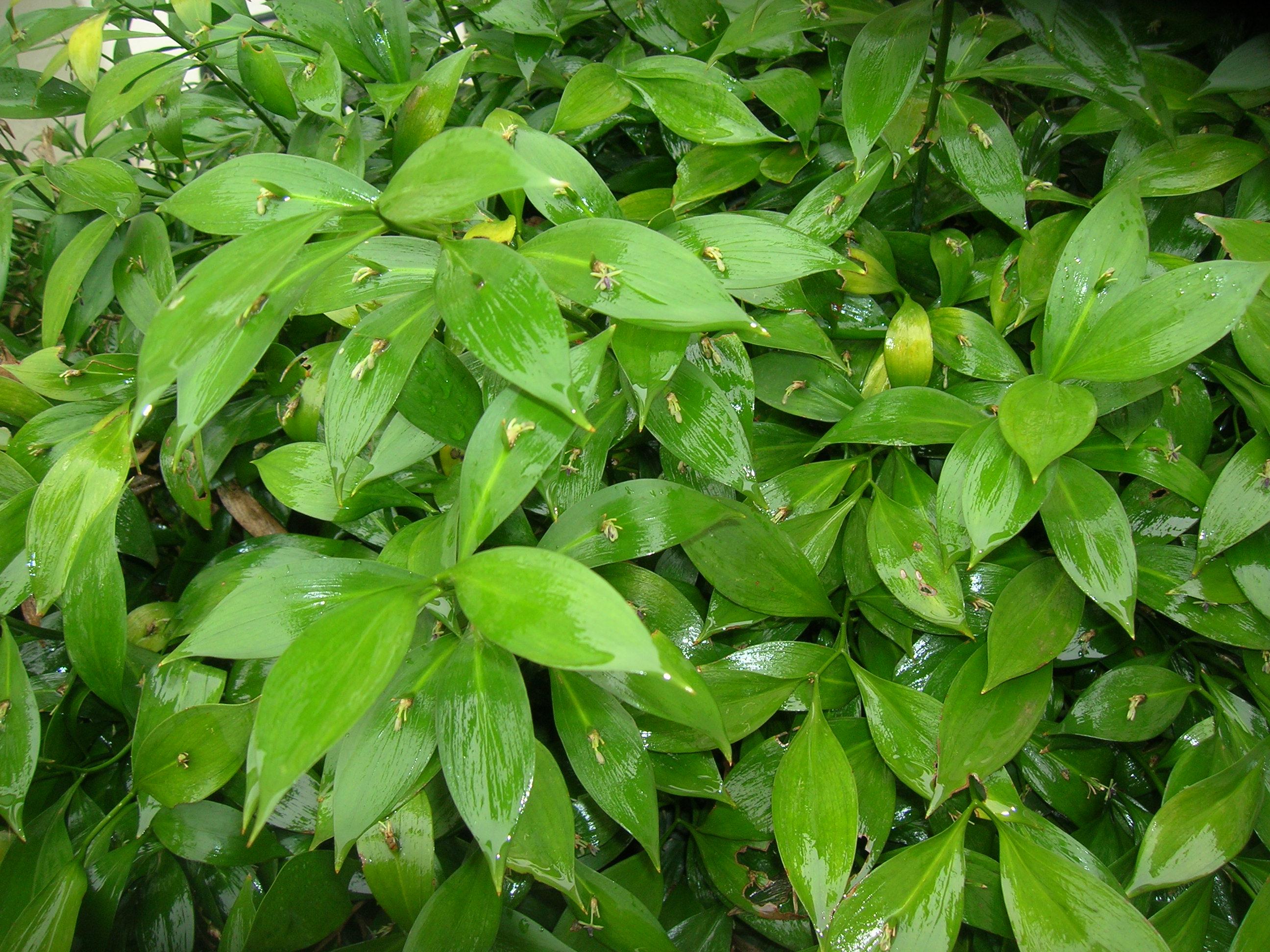 SEINet - Ruscus hypoglossum