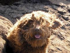 Luca despeinada (elburbublog) Tags: dog chien pets poodles dogs perro poodle perros mascota mascotas rocher almera cabodegata roca rocas mediterrneo rochers waterdog rodalquilar losescullos mediterrane escullos spanishwaterdog mascottes perrodeaguaespaol aguas