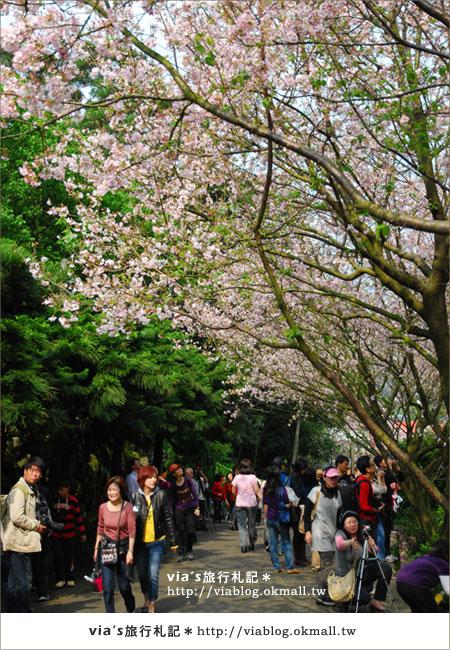 【淡水天元宮櫻花】跟著via賞花趣~天元宮櫻花最新花況13