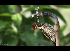 Thirsty.. {Explored} (Vijay..) Tags: vijay green bird nature water canon woodpecker zoom bokeh drop telephoto handheld thirsty xsi 240 nagpur 70300 quench flameback explored 450d phulwadhawa
