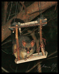 cute possum eating all the birds' food
