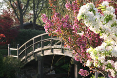 Yoshino Cherry in front of the Drum Bridge