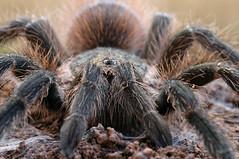 7343 Aranha Caranguejeira (Lumiar Fotografia) Tags: brasil fauna natureza cerrado animais goiás aranha caranguejeira