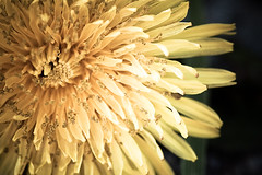 ~ A weed is but an unloved flower. (CarolynsHope) Tags: flower nature yellow petals weed dirty dandelion