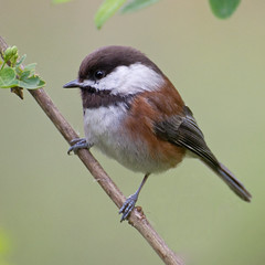 Chestnut-Backed Chickadee (Series) (dwboyd) Tags: bird vancouver britishcolumbia chickadee stanleypark chestnutbackedchickadee poecilerufescens greatphotographers
