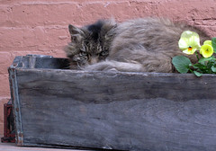 nap, interrupted (Abizeleth) Tags: cold flower brick cat spring glare pansy neighborhood porch superhero flowerpot tortie bigmomma outforawalkwiththedog