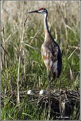 Crane (Sandhill) - 0588 (Earl Reinink) Tags: nest eggs sandhillcrane earlreinink wwwearlreininkcom wwwipaintca nestingsandhillcrane sandhillcranenest