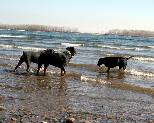 Our dog playing with some friendly Rottweilers at Cherry Beach, Lake Ontario, Toronto