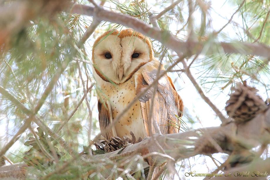 Barn-Owl-051108