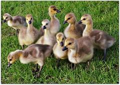 Little flock of busybodies (Stella Blu) Tags: stella canada blu young goose goslings thumbsup waterfowl canadageese waterbirds twothumbsup bigmomma justhatched thumbwrestler flickrchallengewinner 15challengeswinner nikond300 friendlychallenges beautifulworldchallenges thechallengefactory thepinnaclehof gamex3winner gamex2sweepwinner pregamewinner gamesweepwinner nkkor18200 odtbeginswithag tphofweek233