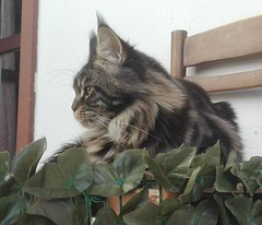 Brown tabby maine coon 9 months. (romeosilverpersian) Tags: mainecoon cats cat catphotos kitten kitty tabbycats chair pets animalidomestici gatto gatti