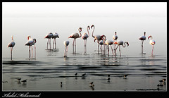 Flamingos (Khaled Mohammed - @khaled690) Tags: all flamingo free flamingos right mohammed kuwait khaled reserved zone  2010