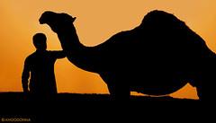 (ANOODONNA) Tags: silhouette canon camel saudi 40d alrasheed alanood   anoodonna