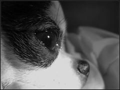 Meimei's Crystal Eye 2 (Ihciiek0) Tags: bw dog chihuahua eye beautiful puppy eyes pretty shine shining 20091106