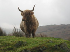 Highland Cow (3) (Lune Rambler) Tags: november cloud weather animal animals cow cattle low lakes lakedistrict horns stormy highland cumbria unusual atmospheric ambleside horned highlandcow kirkstone thegalaxy abigfave platinumheartaward platinumbestshot lunerambler mygearandme mygearandmepremium mygearandmebronze mygearandmesilver mygearandmegold mygearandmeplatinum mygearandmediamond