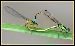 Mating Damsels -  DSC_4045 (Dadida) Tags: love heart pair union insects mating tandem damselflies odonata damsels ischnura corpulate
