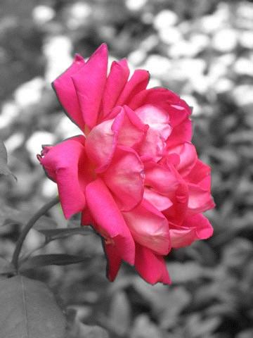 Rose, Granada, Spain