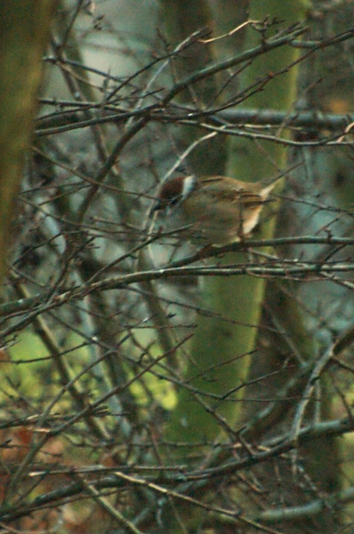 Passer montanus | Ringmus - Tree sparrow | J.K. ©