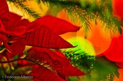 Navidad, en Calor... (Federico Alberto) Tags: muzz m43 microfourthirds microcuatrotercios 43 fourthirds cuatrotercios mcuatrotercios mfourthirds olympusep1santodomingodndominicanrepublicolympusolympusdigitalpenep150200mmfloresdepascuafleursdespquesfloresflowersfleursbokehdesenfoqueflousnavidadchristmasnelrepblicadominicanarpubliquedominicainesaintdomingueclo