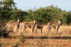 Zebra Family (naddel@weltfrauschaft) Tags: africa wildlife zebra namibia mountainzebra canon70300mm canoneos400d canon70300mm1456isusm