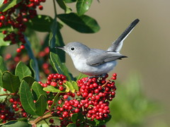 Blue-gray Gnatcatcher 20100108 (Kenneth Cole Schneider) Tags: birds florida miramar gmt browardcounty potofgold bluegraygnatcatcher polioptilacaerulea digitalcameraclub supershot httpblogrosyfinchcom pog2birdgallery